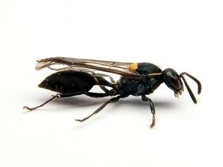 Toxina de vespa ataca células cancerosas mantendo as células saudáveis intactas; pesquisadores estão estudando mais sobre o veneno para que ele possa ter uso clínico contra a doença