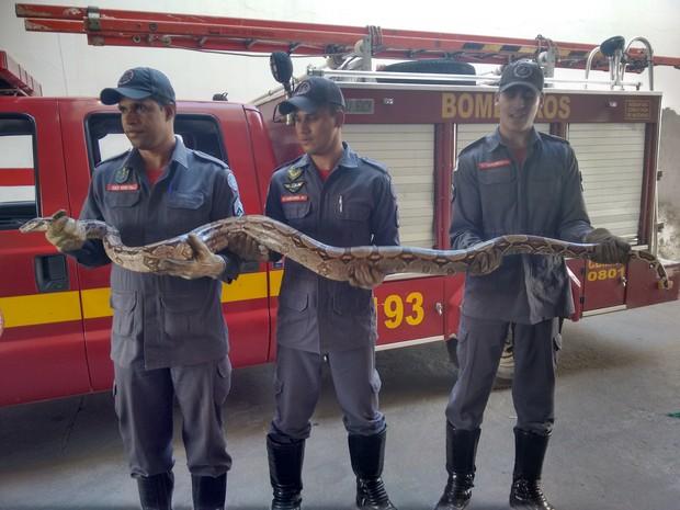 Jiboia de 2,5 m é a quarta capturada nos últimos 20 dias pelos bombeiros - Foto: Zana Ferreira/ G1