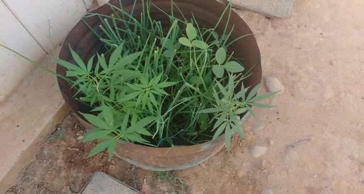 Plantio de maconha com cebolinha foi improvisado numa lata (Foto: Polícia Militar/ Divulgação)