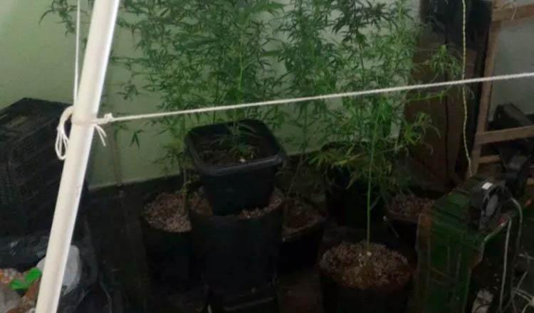 Pés de maconha eram cultivados dentro de casa (Foto: Polícia Militar/ Divulgação)